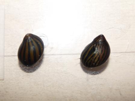 シマカノコ貝1