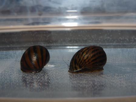 シマカノコ貝2