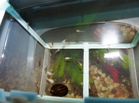 バルーンモーリー稚魚3