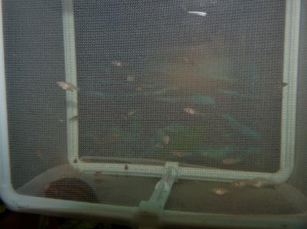 稚魚飼育ネットの横から