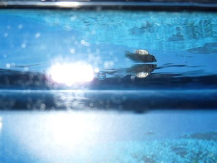 ミックスバルーンモーリー稚魚