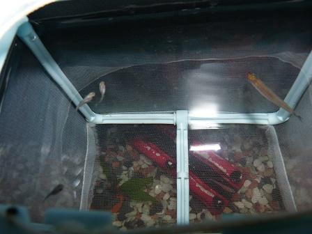 稚魚飼育ネットの中1