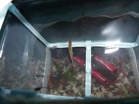 稚魚飼育ネットの中2