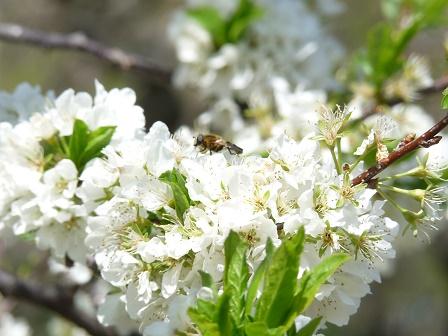 スモモとハチ2